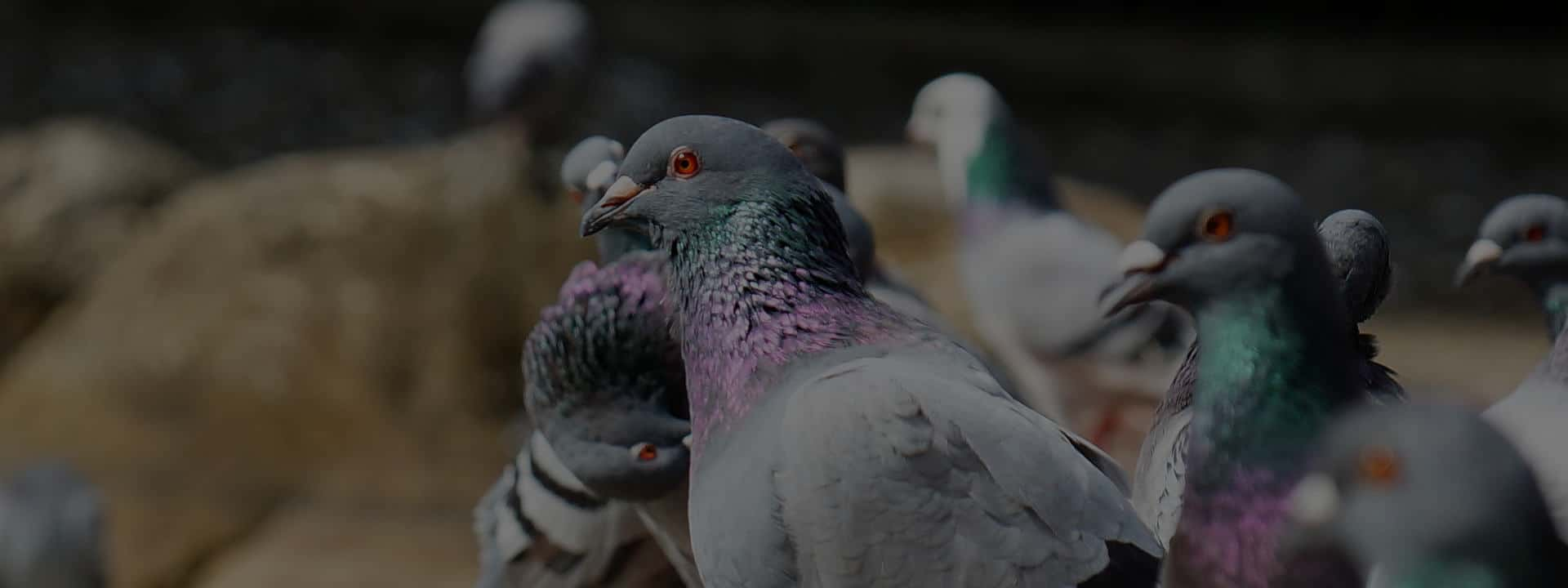 FAST RESPONSE FOR PIGEON CONTROL
